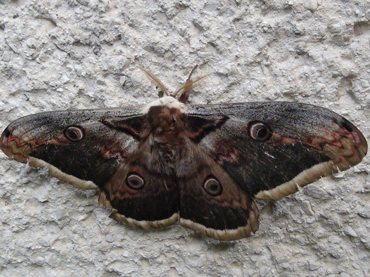 Ritka pillangó a Széchenyi utcában