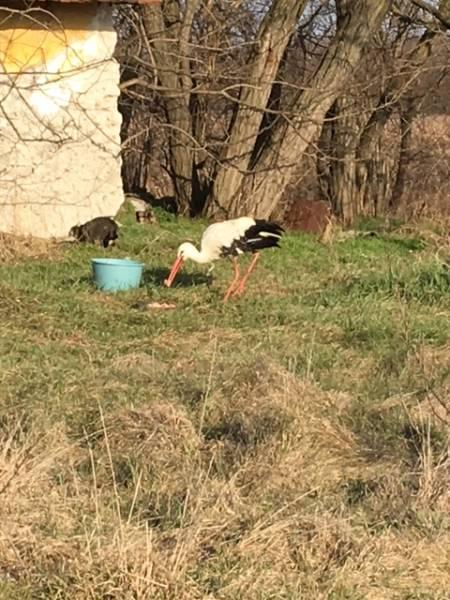 Balástyán telelt egy gólya